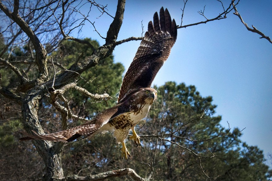 Red-Tailed Hawk at Brookhaven National Laboratory Long Island