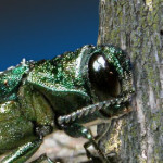 Ask An Expert: Why is the threat of the Emerald Ash Borer so important in New York State?