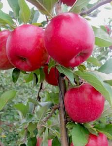 Cornell University apples