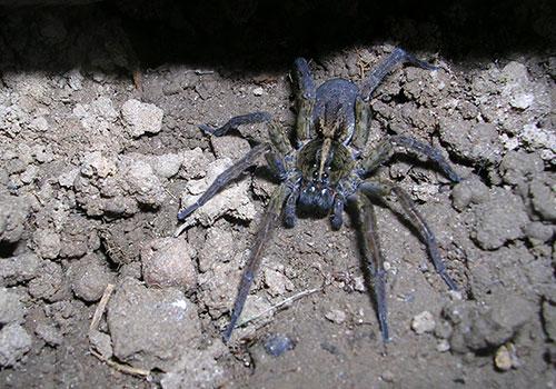 wolf spider on rocky ground