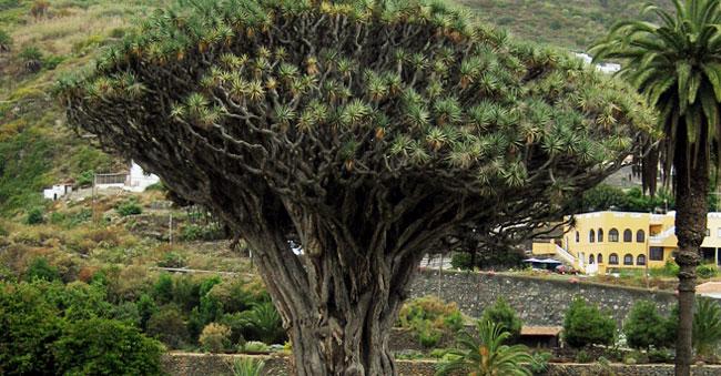 Dracaena kaweesakii dragon tree
