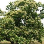Restoring the American Chestnut Tree in Our Forests