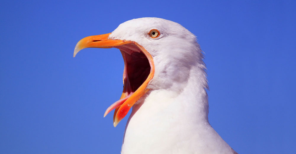 White bird yawning with wide mouth open.