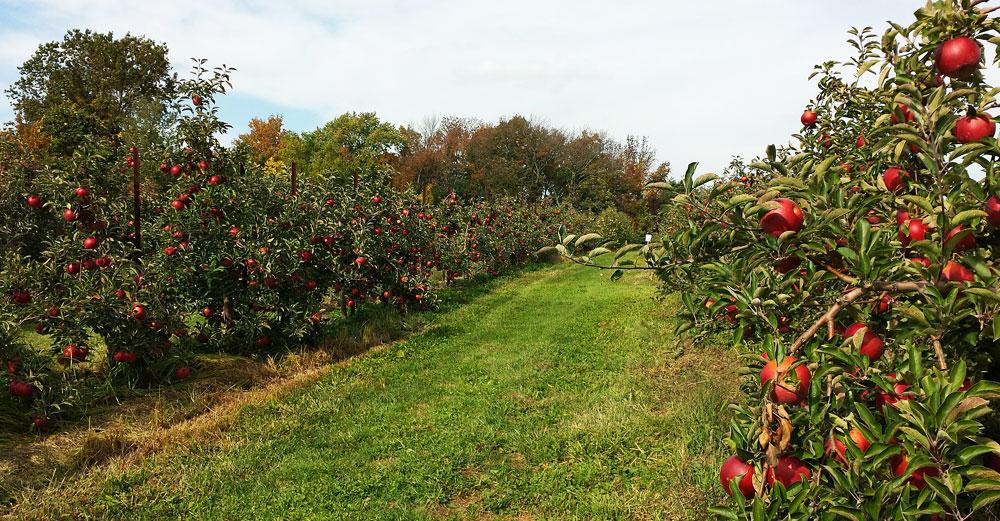 An apple farm in full bloom