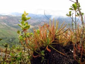 2. Drosera magnifica in habitat_11_photo by Paulo Gonella