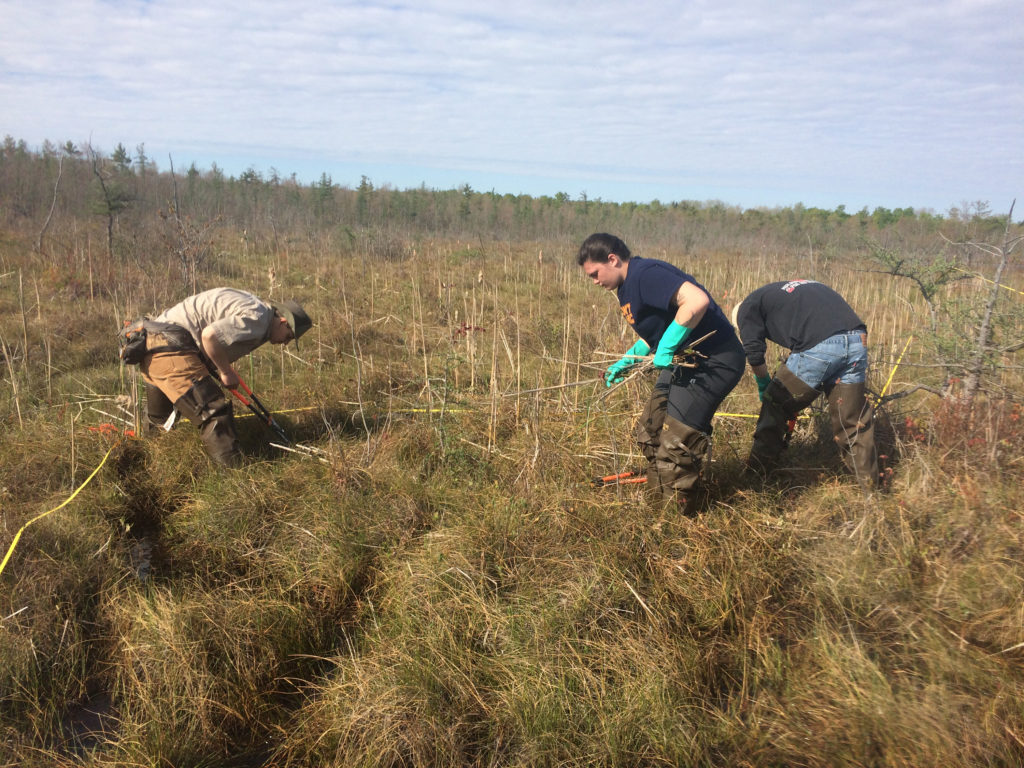 SUNY Oswego students Sarita Charap (center) and Corey Kane (right) remove cattails below the waterline of a local fen to protect sensitive habit of two rare species, the bog buckmoth and bog turtle. Working alongside the students is supervisory technician Faith Page, a 2014 Oswego alumna.