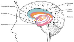 Drawing of hippocampus in the human brain.