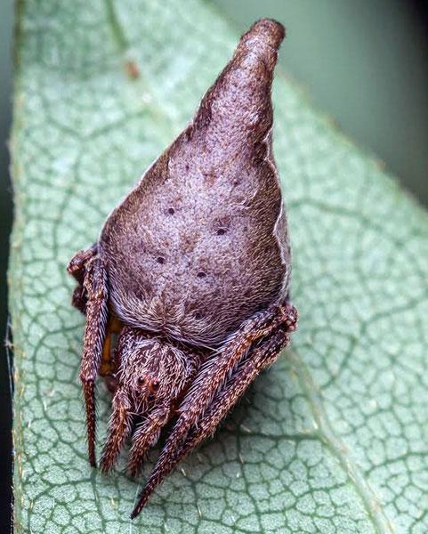 Eriovixia gryffindori spider