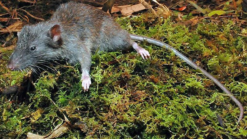 Gracilimus radix rat