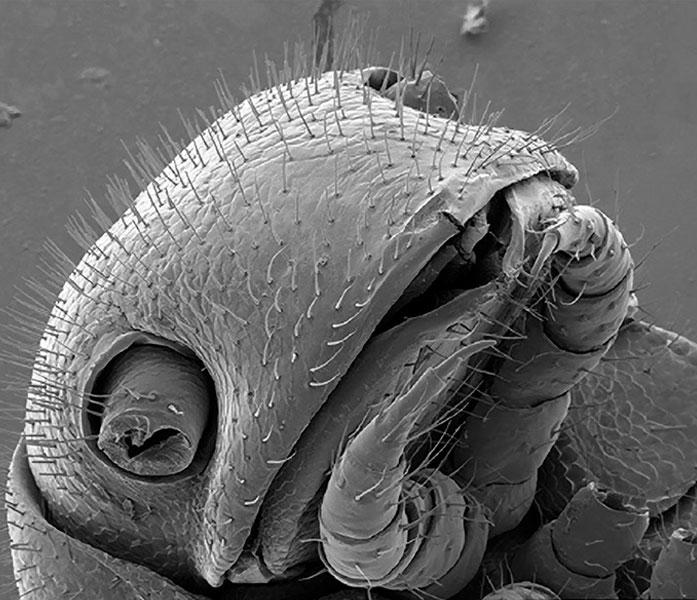 Illacme tobini millipede