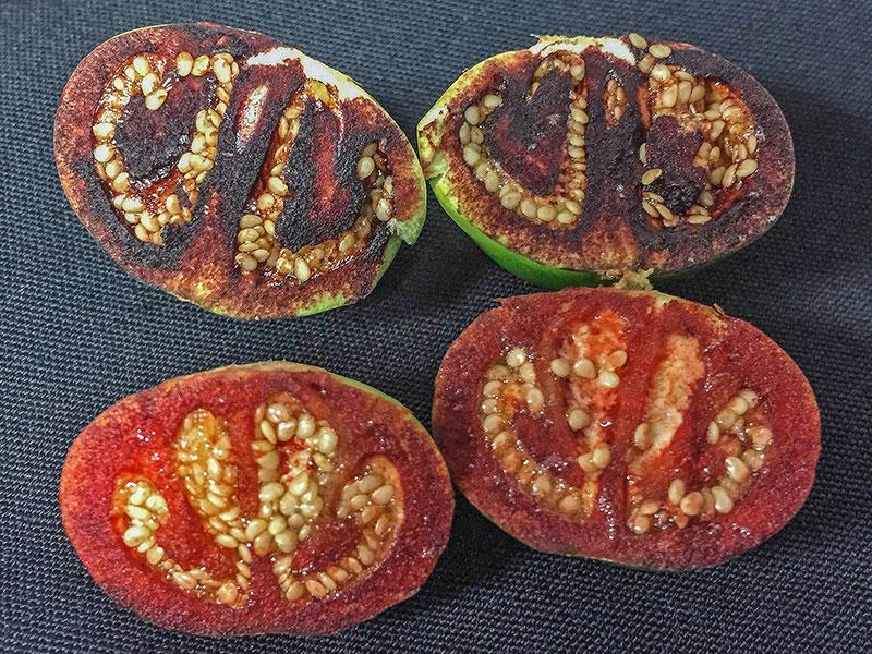 Solanum ossicruentum tomato