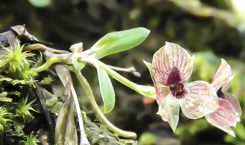 Telipogon diabolicus orchid