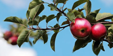 Apples on a branch stem.