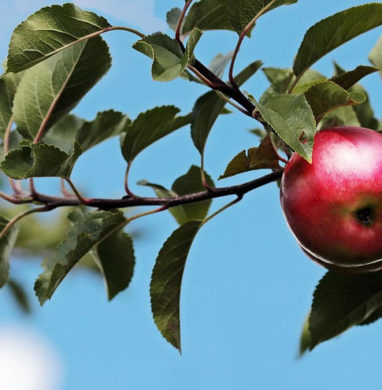 Apples on a branch stem.