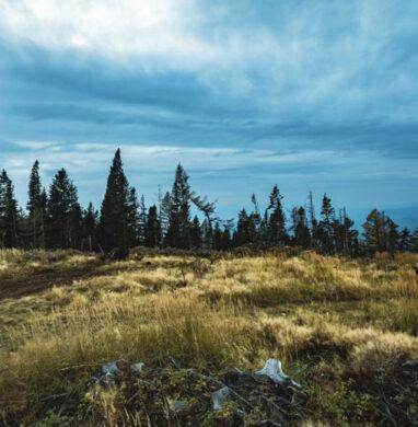Barren pine trees in a field in winter.